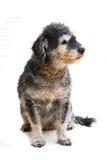 The dog Royalty Free Stock Photo