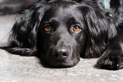 Dog. Sweet gorgeous beautiful black stock image