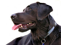 Dog. Isolated black dog is looking around Royalty Free Stock Image