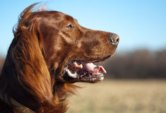 Dog. Irish setter's head against the meadows Stock Images