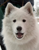 Dog. White dog in the winter Stock Photo