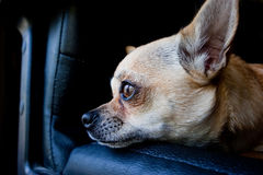 Chihuahua dog on chair Stock Photos
