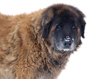Dog and snow stock images