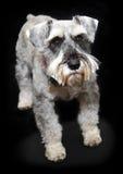 Dog. Schnauzer dog isolated on black background Royalty Free Stock Image