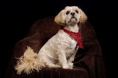 Dog. Beautiful posing shih tzu / poodle dog royalty free stock photos