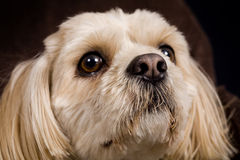Dog. Beautiful posing shih tzu / poodle dog royalty free stock image