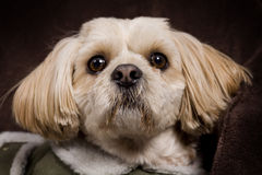 Dog. Beautiful posing shih tzu / poodle dog stock photo