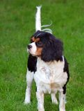 Dog. Cavalier charles spaniel standing on green grass Royalty Free Stock Photography