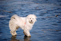 Dog. A pretty white dog was staring at frozen lake Royalty Free Stock Image
