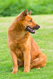 Dog. A dog is sitting on the grassplot with head turn to its left Royalty Free Stock Image