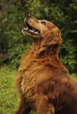 A dog Royalty Free Stock Photos