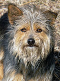 Dog. A  very shaggy small  dog with intent look. A Portrait of a full-face Stock Image
