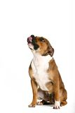 Dog. Looking up Royalty Free Stock Images