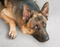 Dog. Closeup of a German shepherd dog, leaning on ground with sad face Stock Photos