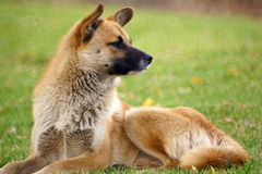 Dog. A brown dog grovels on the lawn Royalty Free Stock Image
