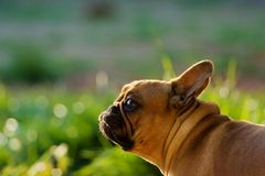 Dog. French bulldog looking like a bunny on sunny meadow Stock Photography