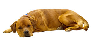 Dog. Large  brown  dog lying on white background Stock Photos