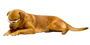 Dog. Large  brown  dog wearing sunglasses on white background Royalty Free Stock Image