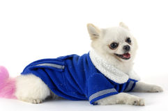 Dog. In an blue shirt Royalty Free Stock Image