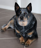 Dog. An australian blue heeler also known as Australian Cattle Dog Royalty Free Stock Photo