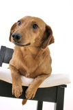 Dog. On a chair cushion Royalty Free Stock Images