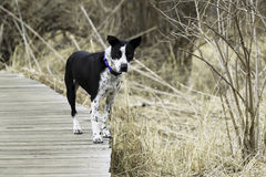 Dog. A Dog standing on the wood track Royalty Free Stock Photo
