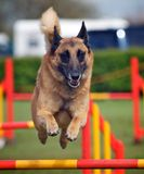 Dog. An active dog jumping a hurdle having agility training royalty free stock image