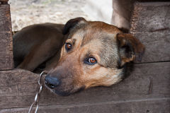 Dog. Lonely chained dog watching out of his kennel Royalty Free Stock Photography