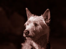 Dog. Toned Royalty Free Stock Photos