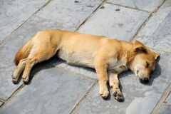 Dog. Is sleeping on the floor stock image