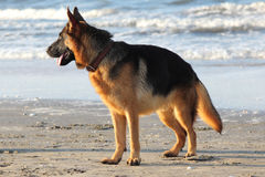 Dog. Stand on the beach Royalty Free Stock Images