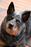 Dog. Australian cattle dog blue heeler looking up at camera sitting on deck Royalty Free Stock Images