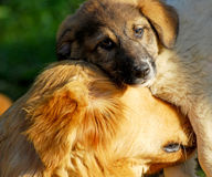 Dog. A mother dog and puppy Stock Images