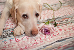 The dog Royalty Free Stock Photography