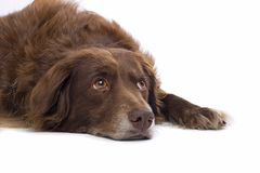 Dog. Sad brown dog lying down Royalty Free Stock Photos