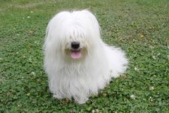 Dog. Uncommon breed of dog Coton de Tulear Royalty Free Stock Image