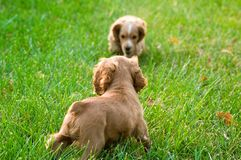 Dog. Natural animal pet dogs can be cute puppy English Cocker Spaniel Stock Photos
