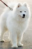 Dog. The dog named Samoyed,was led by it's master. The white hair and the black eyes,gazing the front  smartly Royalty Free Stock Photos