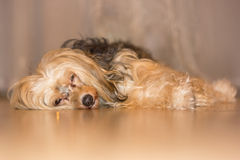 Dog. Small dog, lies, spies, Chinese Crested, eyes shine Royalty Free Stock Photo