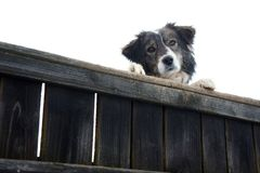 Dog. My little dog on the fence Stock Photography