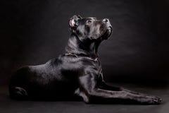 Dog. Cane corso, black dog on the black background Stock Photo