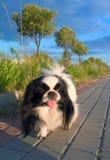Dog. On evening walk Stock Photo