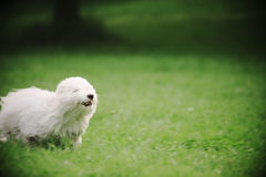 Dog. My pet runing on the grass. It is always so happy to go out to touch the nature Stock Images