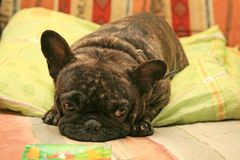 Dog. Brown french bulldog resting in bed stock photos