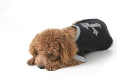 Dog. Small brown toy poodle with a black shirt and grey collar lying down Stock Images