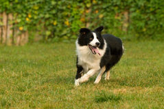 Dog. A happy funny Collie dog baby  running Stock Photography