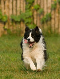 Dog. A happy funny Collie dog baby  running ,Attention Camera lens Royalty Free Stock Photos