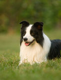 Dog. A lonely Collie dog siting ,Attention something Stock Image
