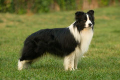 Collie Dog Stock Photo