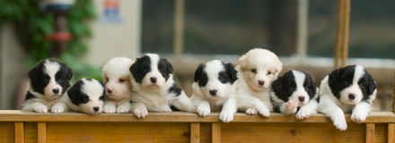 Puppy Dogs in a Row Royalty Free Stock Photo